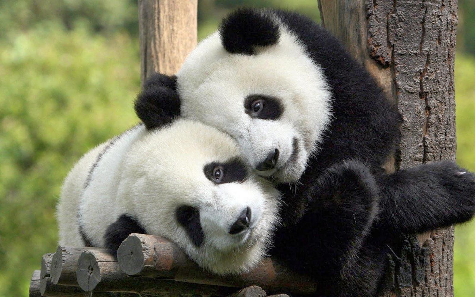 Resultado de imagem para panda gigante